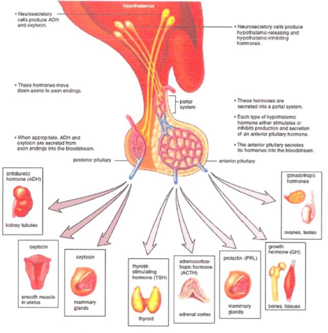 diagnosing hypopituitarism