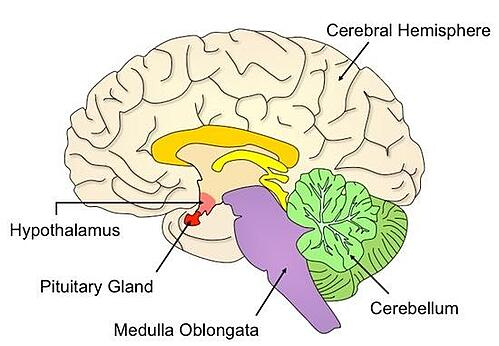 brain and pituitary